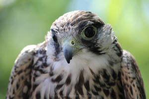 Falcon by HappyRaindrop