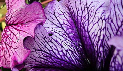 The veins of petals by poetic--wings