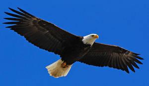 Bald Eagle Stock by Crystalsm