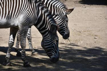 Bright and dark zebras by melianfool