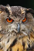 European Eagle Owl by runique
