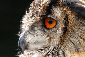 Focused On Dinner - Eagle Owl by runique