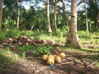 gathered coconuts by yhandz