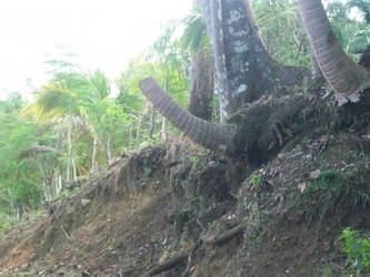 coconut cut by yhandz