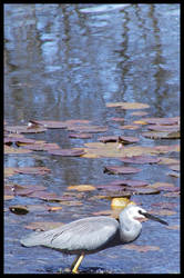 White-faced Heron2 by RainbowsandDaydreams