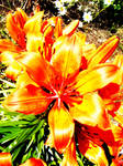 Flame Flower by Lindz-Photography