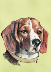 A beagle by clotus