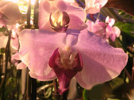 Orchids and sunshine by IanabelleIsaK