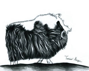 Musk Ox by Tanias-Reign
