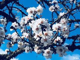 Cherry Blossoms by HariCoelho