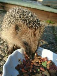 Hedgehog  by Albin9000
