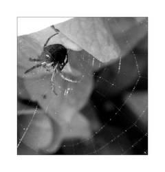 edderkopp by supine