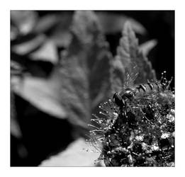 syrphid by supine