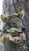 Rowena the Coyote/Coywolf - SOLD by TabbyFoxTaxidermy