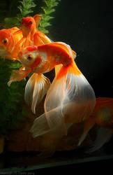 Goldfish .0371-022013. by Ahkahna