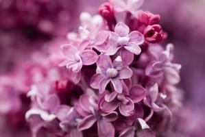 Lilac by mirciuSx