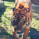 Sumatran Tiger by Orca-Onyx