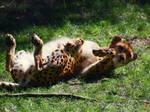 Cheetah by Orca-Onyx