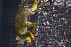 Squirrel Monkey 01 by btoum