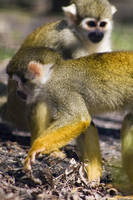 Squirrel Monkey 02 by btoum