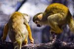 Squirrel Monkey Cheer Up by btoum