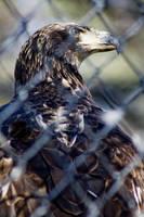 Bald Eagle 02 by btoum