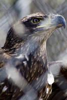 Bald Eagle 04 by btoum