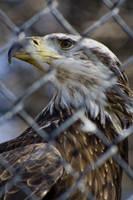 Bald Eagle 05 by btoum