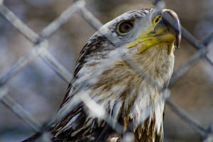 Bald Eagle 06 by btoum