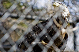 Bald Eagle 07 by btoum