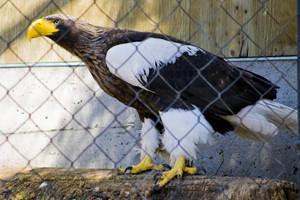 Steller's Sea Eagle 03 by btoum