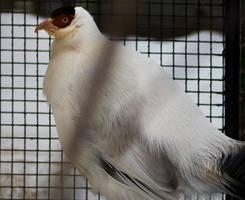 Unknown Pheasant 02 by btoum