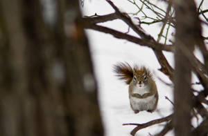 Gray Squirrel by btoum