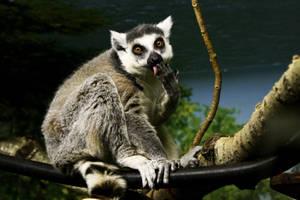 Ring-tailed Lemur 01 by btoum