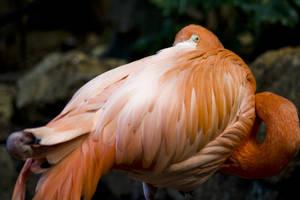 Flamingo 02 by btoum