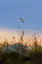 Tern Sunset by btoum