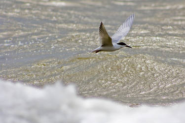 Tern Flying Low by btoum