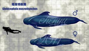 Globicephala macrothynchus by sinammonite