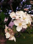 Apple Tree by Eliandkla