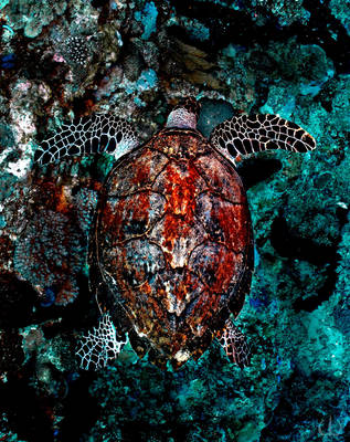 Overturtle by Holophite