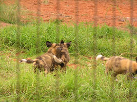 African Hunting Dogs by ManyardButler