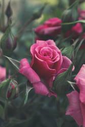 Rose by Grishnakh666