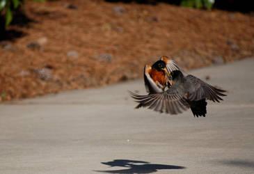 Fighting Birds by GrievousXXX