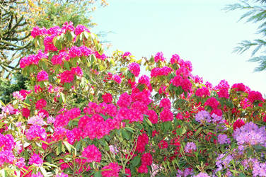 Rododendron by GigitjeR