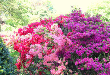 Pink, red, purple Rododendron by GigitjeR