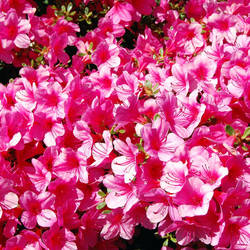 A lot of pink! by GigitjeR