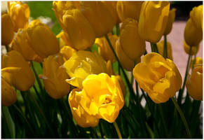 Yellow Tulips by Frostola