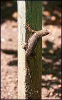 Lizard Guardian by Frostola