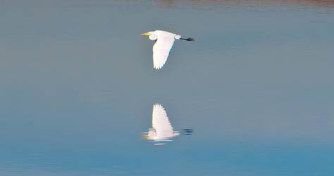Great White Egret by Frostola