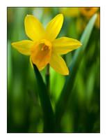 Daffodil Twirl by Frostola